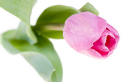 Pink fresh tulip Stock Photo