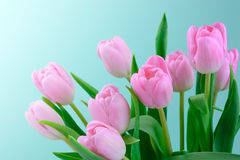 Pink fresh tulips flowers. Background Royalty Free Stock Images