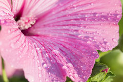 Pink freshness. Flowers Mallow (Malva neglecta) with morning dew Stock Image
