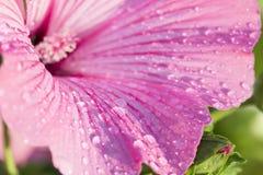 Pink freshness Stock Image