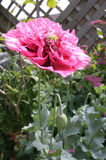 Pink frilled poppy in garden Royalty Free Stock Photos