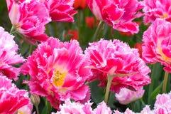 Pink fringe tulips Stock Image