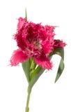Pink fringed tulip Stock Image