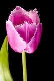Pink Fringed Tulip on Black Background Royalty Free Stock Image