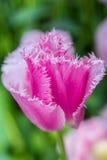 Pink fringed tulip macro Stock Photo