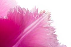 Pink Fringed Tulip on White Background Stock Images