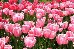 Pink Fringed Tulips. A flower bed of vivid pink tulips royalty free stock images