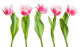 Pink fringed tulips isolated on white background.  Royalty Free Stock Photography