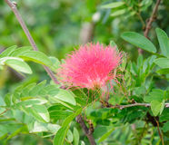 Pink frizzy flora Stock Images