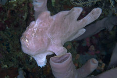 Pink frogfish on tube spone Royalty Free Stock Photos