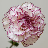 Pink frontal Stock Photos