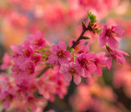 Pink fruit tree in spring Stock Image