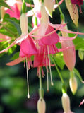 Pink fuchsia. Blooming pink fuchsia flower in a garden Stock Photos