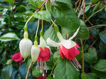 Pink fuchsia blooming flowers Stock Photography