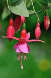 Pink fuchsia flower Stock Images