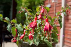 Pink Fuchsia Flowering Plant in England Stock Photo