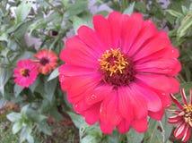 Pink Fuchsia flowers. Pink flower, garden flower Royalty Free Stock Photos