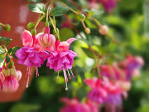 Pink fuchsia flowers in garden Royalty Free Stock Photography
