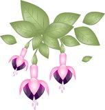 Pink fuchsia Royalty Free Stock Photography