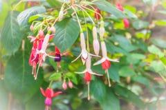 Pink Fuchsia magellanica flowers on green tree background. It's Stock Photo