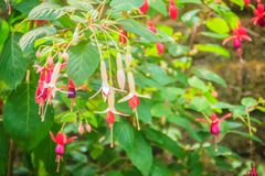 Pink Fuchsia magellanica flowers on green tree background. It's Royalty Free Stock Photos