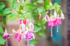 Pink Fuchsia magellanica flowers on green tree background. It's Stock Photography