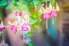 Pink Fuchsia magellanica flowers on green tree background. It's Royalty Free Stock Images