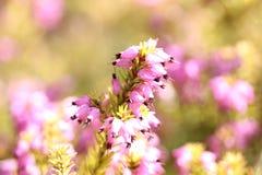 Pink fuchsia plant. Macro shot of a pink fuchsia plant stock image