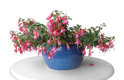 Pink fuchsia in a pot. A fuchsia plant in a pot standing on a table in white back royalty free stock image