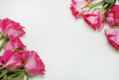 Pink Fucsia Rose Flower Bouquet Isolated with Copy Space. flat Lay. flowers. Floristic Background. royalty free stock photography