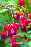 Pink Fuschia flower with water drops . Royalty Free Stock Photo