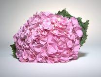 Pink Fushia Hydrangeas. On white background Royalty Free Stock Image