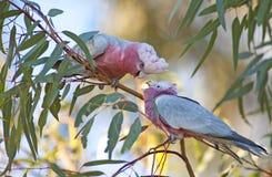 Pink galah Royalty Free Stock Photography