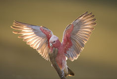 Pink galah Stock Photo