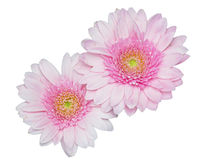 Pink Garbera flowers on white Stock Photography
