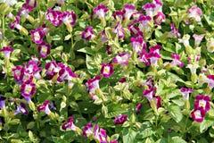 Pink Garden Balsam. Stock Photos
