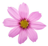 Pink garden cosmos. Flower isolated on white Royalty Free Stock Photo
