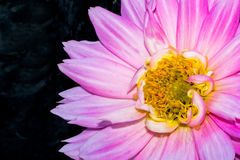 Pink garden dahlia against smoky black background Royalty Free Stock Images