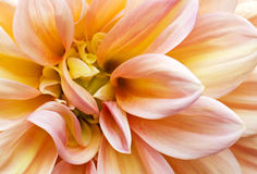 Pink Garden Dahlia2 Royalty Free Stock Photo