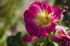 Pink malva in bloom. Pink garden decorative malva in bloom in summer in the garden Stock Photos