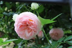 Beautiful pink garden english roses. royalty free stock photos