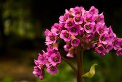 Pink garden flower Royalty Free Stock Photos