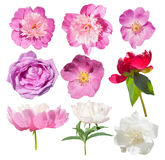 Pink garden flower isolated. Peony, wild rose isolated. Royalty Free Stock Photos