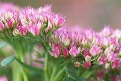 Pink garden flowers. Close-up Stock Photos