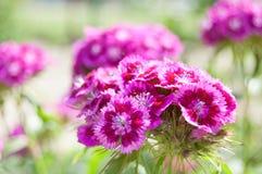 Pink garden flowers. Stock Image
