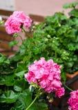 Pink garden geranium flowers in pot , close up shot / geranium f Stock Photos