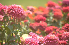 Pink garden. This is a group of flowers that I saw in a park Stock Image