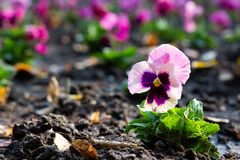 Pink garden pansy planted in park stock photo