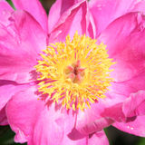 Pink garden peony (Chinese peony) Royalty Free Stock Photos