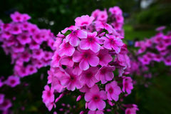 Pink Garden Phlox Stock Photography